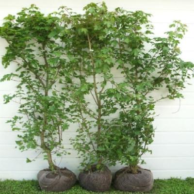 Acer campestre - Færdighæk - højde: 150 cm. - Naur