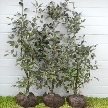 Sorbus mougeotii - Færdighæk - højde 150 cm. - Sølvrøn