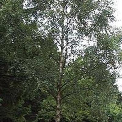 Betula  pendula (verrucosa) (Vortebirk) Salgsh.: 60-100 cm. (Barrodet bdt m/25 stk)