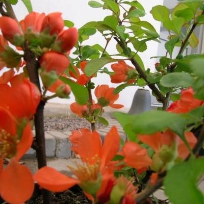 Chaenomeles japonica (Japansk Kvæde) Salgsh: 50-80 cm. (Barrodet bdt m/25 stk)