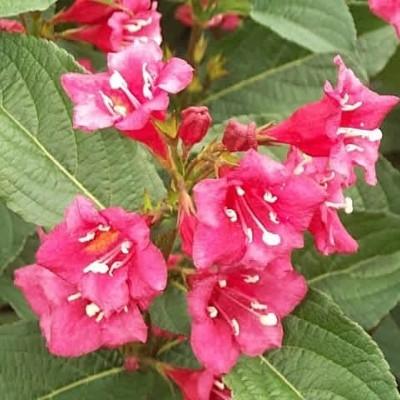 Weigela 'Bristol Ruby' (Klokkebusk) Salgsh.: 50-80 cm. (Barrodet bdt. m/25 stk)