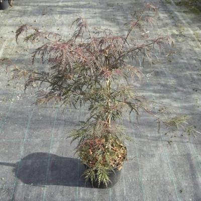 Acer pal. dissectum 'Garnet' - Salgshøjde: 30 - 50 cm. - Japansk Ahorn