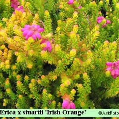 Erica x stuartii 'Irish Orange' (Sommerblomstrende lyng)