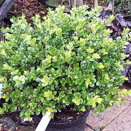 Buxus sempervirens 'Faulkner'- Salgshøjde: 40-50 cm. - Alm. Buksbom