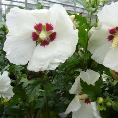 Hibiscus syriacus 'Red Heart' - Salgshøjde: 30-40 cm. - Syrisk Rose