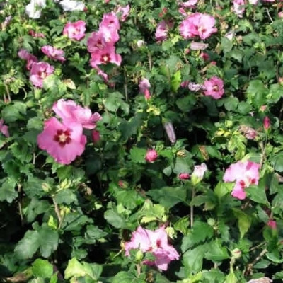 Hibiscus syriacus 'Woodbridge' - Salgshøjde: 30-40 cm. - Syrisk Rose
