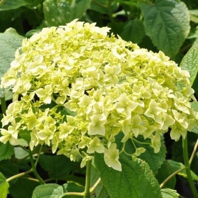 Hydrangea arborescens 'Annabelle' - Salgshøjde: 20-50 cm. - Træagtig Hortensia