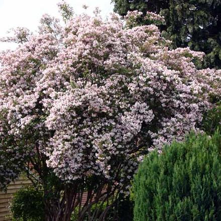 Kolkwitzia amabilis - Salgshøjde: 50-80 cm. - Dronningebusk