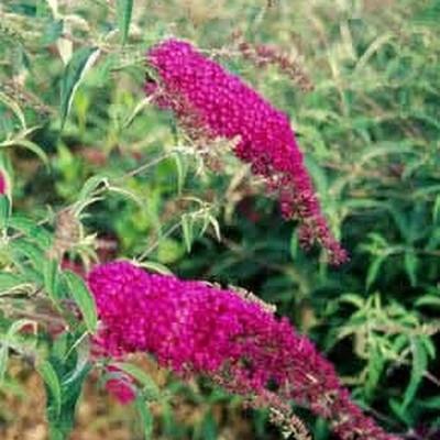 Buddleia davidii 'Royal Red' - Salgshøjde: 35-80 cm. - Sommerfuglebusk