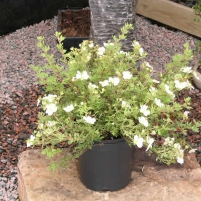 Potentilla fruticosa 'Abbotswood' - Salgshøjde: 30-50 cm. - Hvid Potentilla