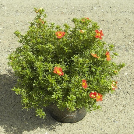 Potentilla fruticosa 'Red Ace' - Salgshøjde: 25-40 cm. - Rød Potentilla