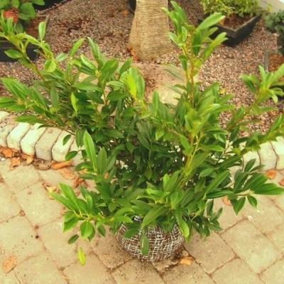 Prunus laurocerasus 'Prufon',  - Salgshøjde: 30-60 cm. - Kirsebærlaurbær