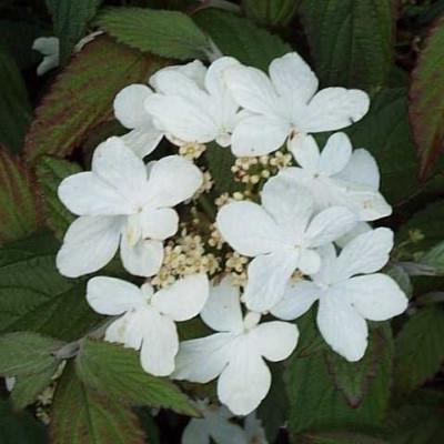 Viburnum plicatum 'Watanabe' (Snebolle) H: 25-40 cm.