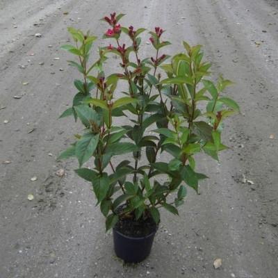 Weigela hybrid  'Bristol Ruby' - Salgshøjde: 30-50 cm. - Klokkebusk