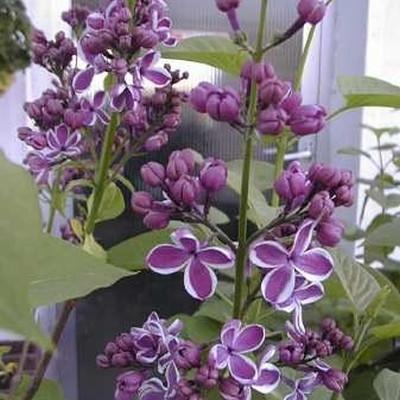 Syringa vulgaris 'Sensation' - Salgshøjde: 40-60 cm. - Syren