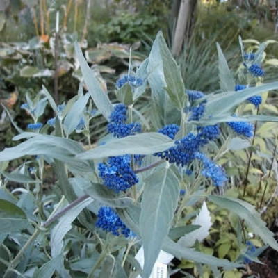 Caryopteris clandonenis 'Heavenly Blue' (Blåskæg) 30-50 cm