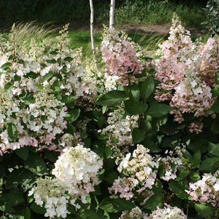 Hydrangea paniculata 'Pinky Winky' - salgshøjde 30-60 cm  - Havehortensia