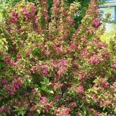 Weigela florida 'Brigela' - Salgshøjde: 20-40 cm. - Klokkebusk