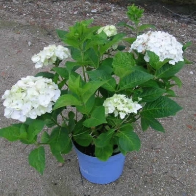 Hydrangea macrophylla 'Endless Summer' hvid (The Bride)  (Hortensia) H: 20-50 cm.