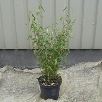 Sinarundinaria murielae 'Tiny' (Fargesia murielae 'Tiny') - Salgshøjde: 50-80 cm. - Gul Bambus
