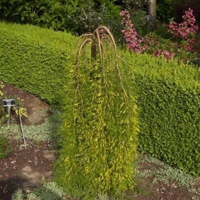 Caragana arborescens 'Walker' - Stammehøjde: 120 cm. - Hængende ærtetræ