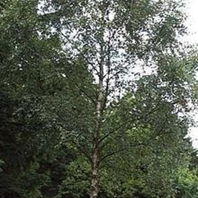 Betula pendula (verrucosa) - Salgsstr.:  150-200 cm. - Vortebirk