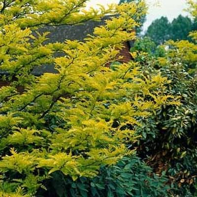 Gleditsia triacanthos 'Sunburst' - Salgsstr.:  150-250 cm. - Guld Tretorn