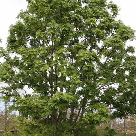 Sorbus 'Dodong' - Salgsstr.: 150-175 cm. - Koreansk Røn