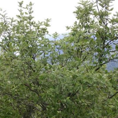 Sorbus mougeotii - Salgsstr.: 175-250 cm. - Sølvrøn