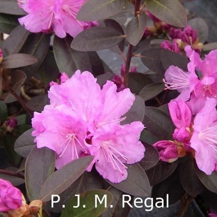 Rhododendron dauricum 'P.J.M.Regal' (Småblomstrende) - Salgshøjde: 30-40 cm.