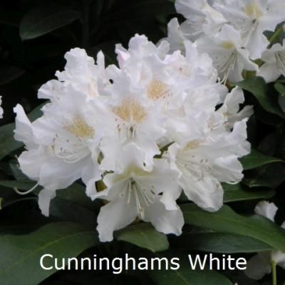Rhododendron 'Cunninghams White' (Storblomstrende) - Salgshøjde: 30-40 cm.