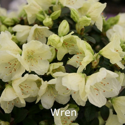 Rhododendron ludowii 'Wren' (Småblomstrende) - Salgshøjde: 20-30 cm.