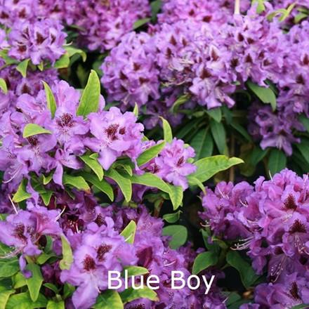 Rhododendron 'Blue Boy' (Storblomstrende) - Salgshøjde: 30-40 cm.