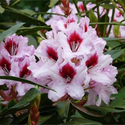 Rhododendron 'Graffito' (Storblomstrende) - Salgshøjde: 30-50 cm.