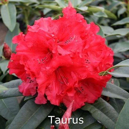 Rhododendron 'Taurus' (Storblomstrende) - Salgshøjde: 30-40 cm.