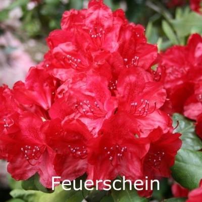 Rhododendron 'Feuerschein' ('Hachmanns Feuerschein') (Storblomstrende) - Salgshøjde: 30-40 cm.