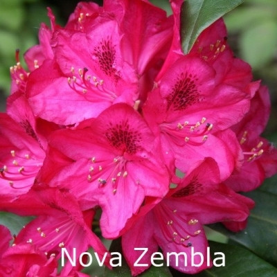 Rhododendron 'Nova Zembla' (Storblomstrende) - Salgshøjde: 30-40 cm.