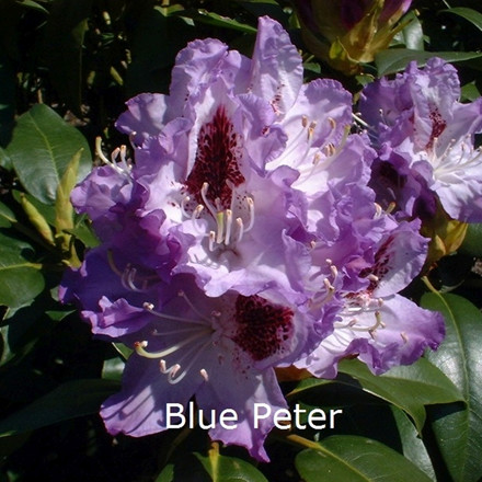 Rhododendron 'Blue Peter' (Storblomstrende) - Salgshøjde: 30-40 cm.