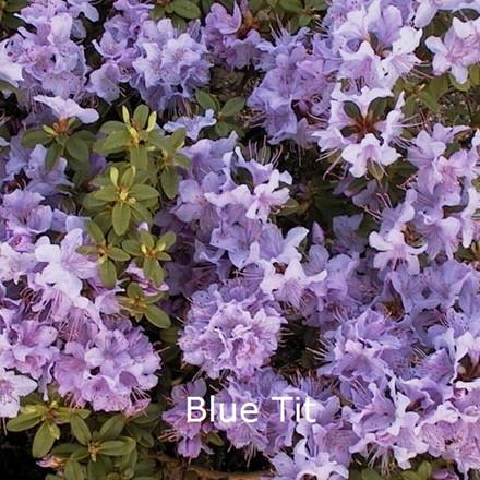 Rhododendron impeditum 'Blue Tit' (Småblomstrende) - Salgshøjde: 20-25 cm.