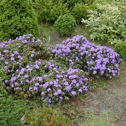 Rhododendron impeditum 'Ramapo' (Småblomstrende) - Salgshøjde: 20-25 cm.