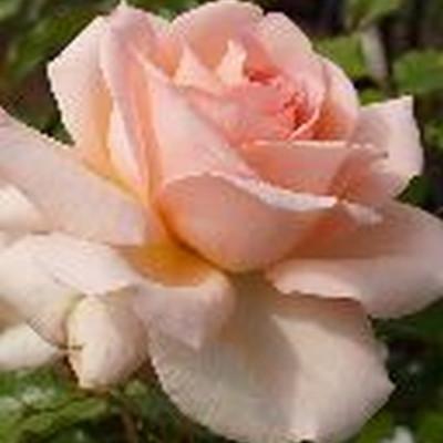 Rose Morten Korch (Chandos Beauty) (storblomstrende) , barrodet