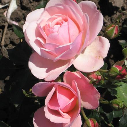 Rose Rosenborg (buketrose) , barrodet