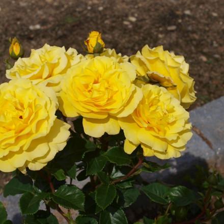 Rose Viborg (buketrose) , barrodet