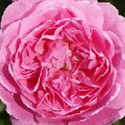 Rose Strawberry Hill (engelsk rose (kan anvendes som slyngrose) , barrodet