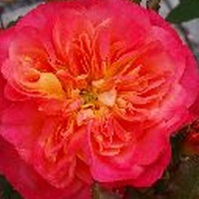 Rose Mandarin (bunddækkerose) , barrodet