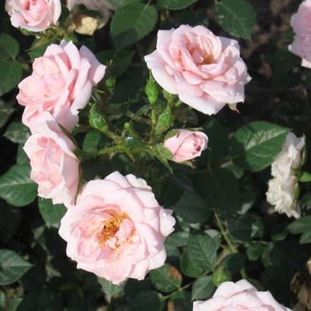 Rose Pink Hit (bunddækkerose) , barrodet