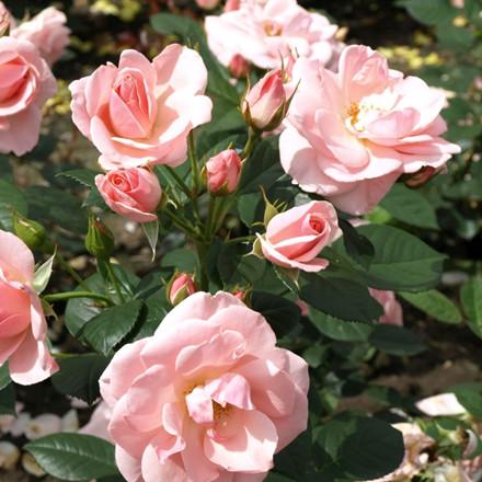 Rose 'Astrid Lindgren' (buketrose) barrodet