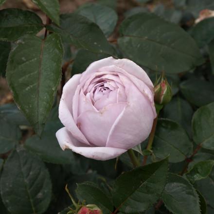 Rose 'Bering Renaissance' (renaissance rose) barrodet