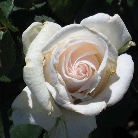 Rose Helena Renaissance (renaissance rose) , barrodet