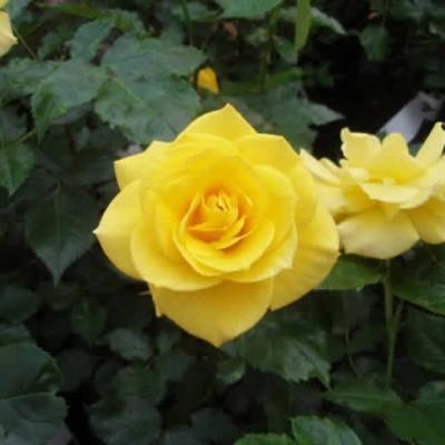 Rose 'Friesia' (buketrose) barrodet